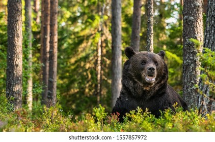 Adult male of brown bear at autumn forest. Front view. Natural habitat.