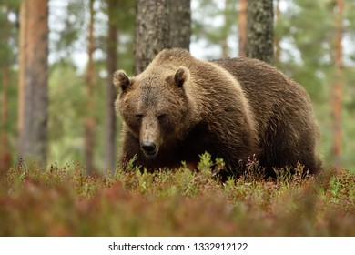 adult male brown bear in a forest landscape, serious glance of bear