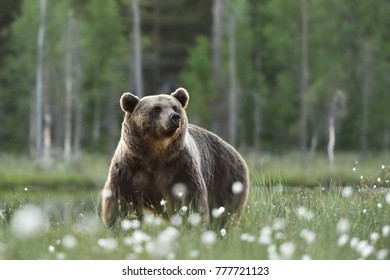 Adult male brown bear with forest background