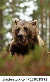 Adult male brown bear portrait in forest
