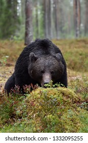 adult male brown bear sniffing blueberry sod in the rainy forest