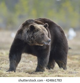 Adult male of Brown Bear (Ursus arctos) on the swamp in spring forest. Close up portrait