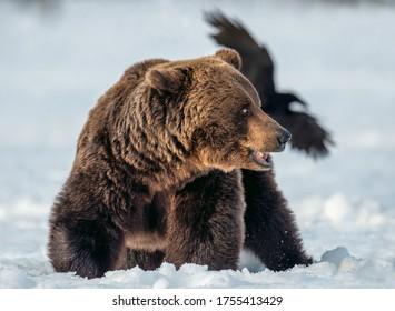 Adult Male of Brown Bear in winter forest. Close up. Scientific name: Ursus Arctos. Wild Nature. Natural Habitat.