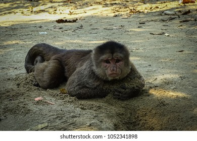 Adult male capuchin monkey lying on the beach and playing with sand. Misahualli, Ecuadorian Amazon.