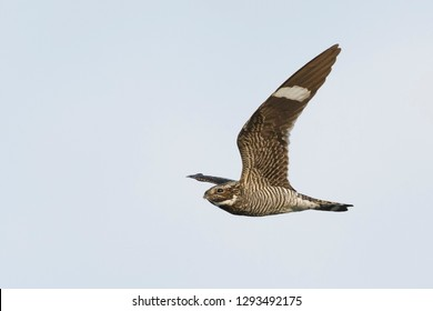 Adult male Common Nighthawk (Chordeiles minor) in flight during daytime over Deschutes County, Oregon, USA.