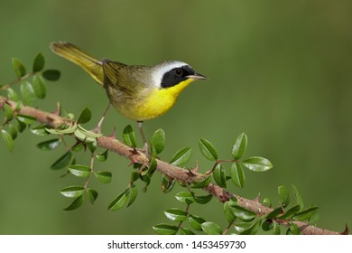 Adult male Common Yellowthroat (Geothlypis trichas) in Galveston County, Texas, USA. Perched on a twig against a green natural background.
