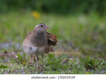Adult male Corn Crake (Crex crex), frontal view of bird standing on gravel, in Finland.