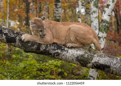 Adult Male Cougar (Puma concolor) on Birch Branch Licks at Elbow - captive animal