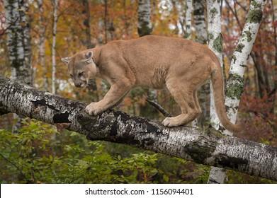 Adult Male Cougar (Puma concolor) Glares Down - captive animal