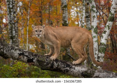 Adult Male Cougar (Puma concolor) Stares Out from Atop Birch Branch Autumn - captive animal
