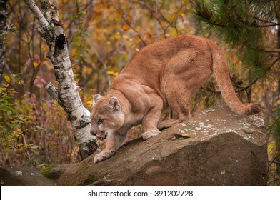 Adult Male Cougar (Puma concolor) Crouches on Rock - captive animal