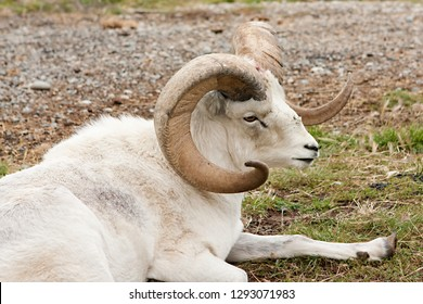 Adult male Dall's sheep (Ovis Dalli) sitting down, resting in a alpine meadow.