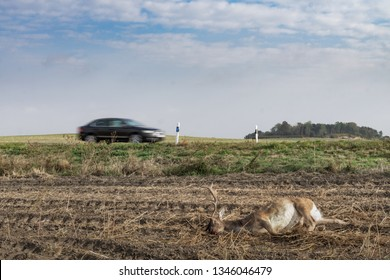 An adult male deer lies dead at the side of the road after having collided with a vehicle