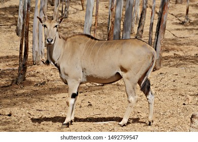 An adult male of eland