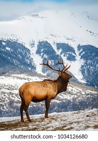 Adult male Elk or Wapiti (Cervus canadensis) standing in front of mountain panorama. Antlers, snow covered, winter, freezing. Portrait layout. Jasper National Park, Alberta, Rocky Mountains, Canada.