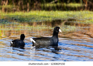 Adult Male and Female American Coot Waterbird Swimming
