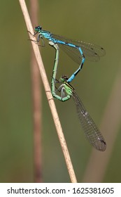 Adult male and female mating wheel Northern Damselfly (Coenagrion hastulatum) resting on a stem at the Kampina in the Netherlands.