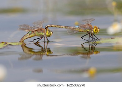 Adult male and female Vagrant Emperor (Anax ephippiger) tandem laying eggs on Nymphoides peltata at the Millingerwaard in the Netherlands.