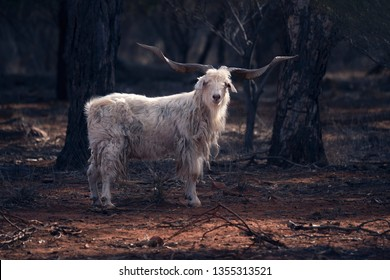 An adult male feral goat in outback New South Wales, Australia