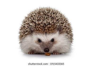 Adult male Four toed Hedgehog aka Atelerix albiventris. Sitting facing front eating cat kibble. Isolated on a white background.