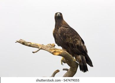 Adult male of Golden eagle. Aquila Chrysaetos