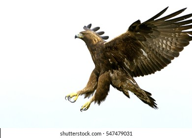 Adult male of Golden eagle flying. Aquila Chrysaetos