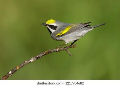 Adult male Golden-winged Warbler (Vermivora chrysoptera)Galveston Co., Texas