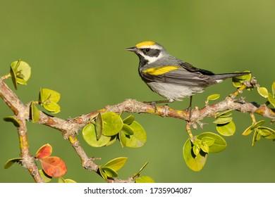 Adult male Golden-winged Warbler, Vermivora chrysopteraGalveston Co., Texas, USA
