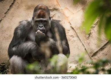 Adult male gorilla in Taronga Zoo, Sydney, Australia.