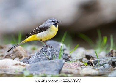 Adult male Grey Wagtail (Motacilla cinerea ssp. cinerea) perched on the ground in Morocco.