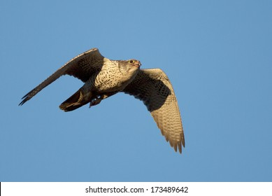 An adult male gyrfalcon returns from an unsuccessful  hunting foray.