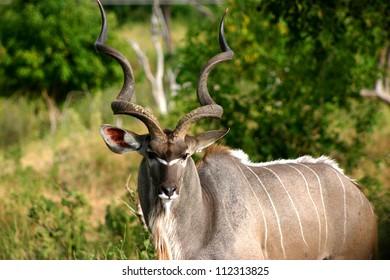 Adult Male Kudu, Botswana