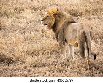 Adult Male Lion at Dusk in Serengeti National Park, Tanzania Copy Space