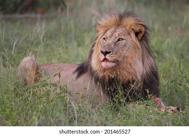 Adult male lion feasting.