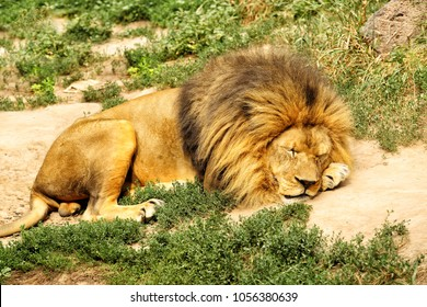 An adult male lion or panthera leo sleeping in the daytime.