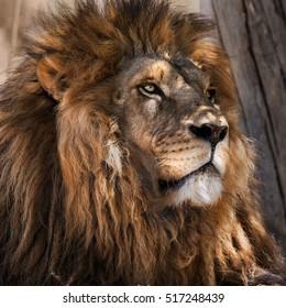 Adult male lion portrait.