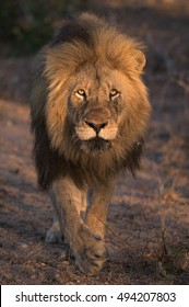 An adult Male Lion walking directly towards the camera in golden light.