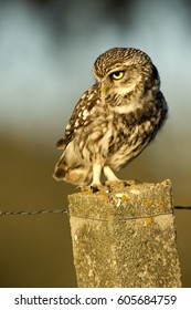 Adult male of Little owl. Athene noctua