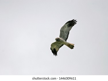 Adult male Malagasy Harrier (Circus macrosceles) in flight. Also known as the Madagascar harrier or Madagascar marsh harrier.