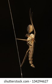 Adult male midge (Chironomidae) with feather antenna resting on a spider's web