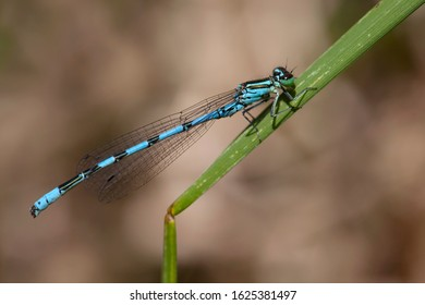 Adult male Northern Damselfly (Coenagrion hastulatum) resting on grass at the Kampina in the Netherlands.