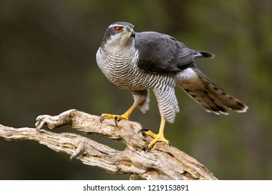 Adult male of Northern goshawk, Accipiter gentilis