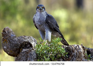 Adult male of Northern goshawk. Accipiter gentilis