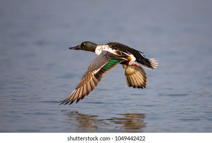 Adult male Northern shoveler, low angle view, side shot, spread wings and flying under the blue sky over freshwater in Bueng Boraphet, the largest swamp, non-hunting area in central of Thailand.