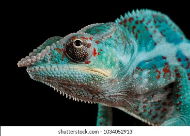 Adult male Nosy Faly Panther Chameleon (Furcifer pardalis). Close-up, photographed against a black background