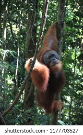 adult male orangutan jumps from one tree to another using hanging vines, rainforest in Sumatra national Park