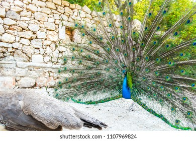 Adult male peacock displaying colorful and vibrant feathers with vivid blue body and green and yellow neon colored fanned out tail as a female hen walks by on the island of Lokrum in Croatia.