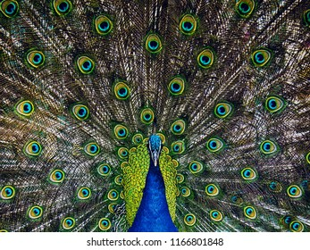 Adult male peacock displaying dolorful feathers, close up portrait of an adult male peacock showing his feathers