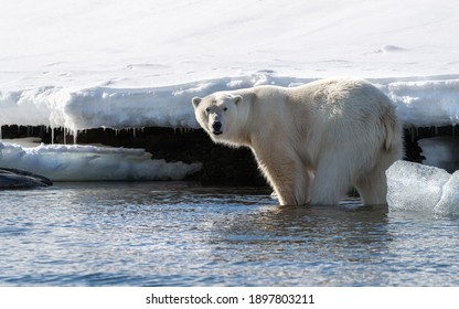 Adult male polar bear stands in the shallow sea in Svalbard, a Norwegian archipelago between mainland Norway and the North Pole. Side view with snow background.