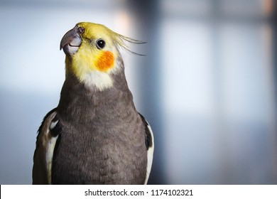 Adult male pretty cockatiel on a blue background